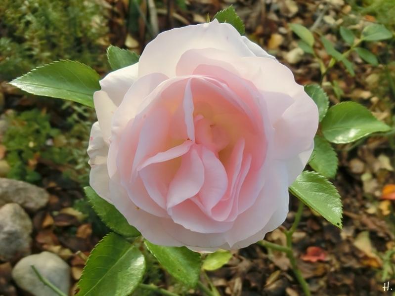 2020-11-20 LüchowSss Garten Rose 'Asprin' (2)