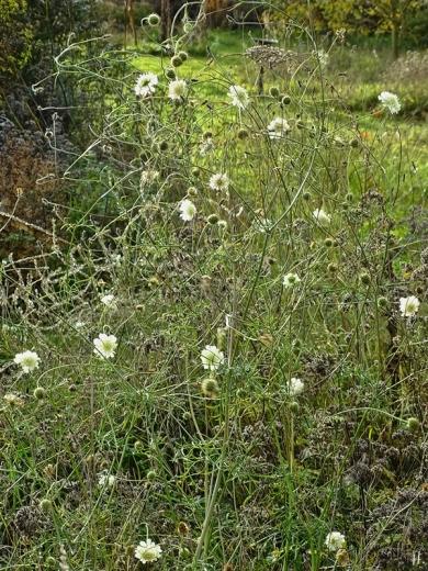 2020-11-22 LüchowSss Garten Gelb-Skabiosen (Scabiosa ochroleuca) (3)