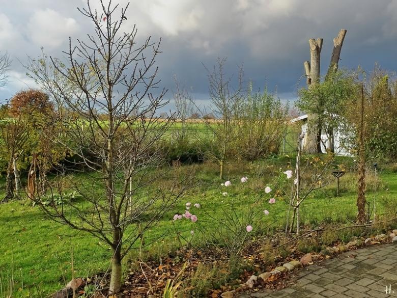 2020-11-22 LüchowSss Garten mit Rose 'Aspirin'