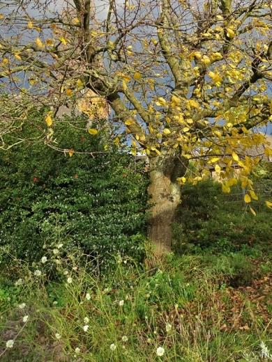 2020-11-22 LüchowSss Garten Süsskirschbaum + Stechpalme + Gelb-Skabiosen (2)