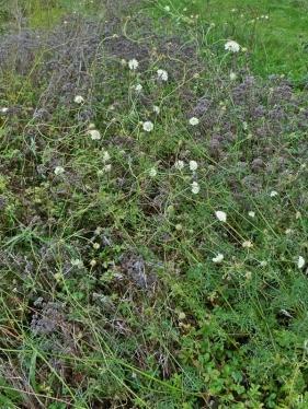 2020-11-26 LüchowSss Garten Gelb-Skabiosen (Scabiosa ochroleuca) (1)