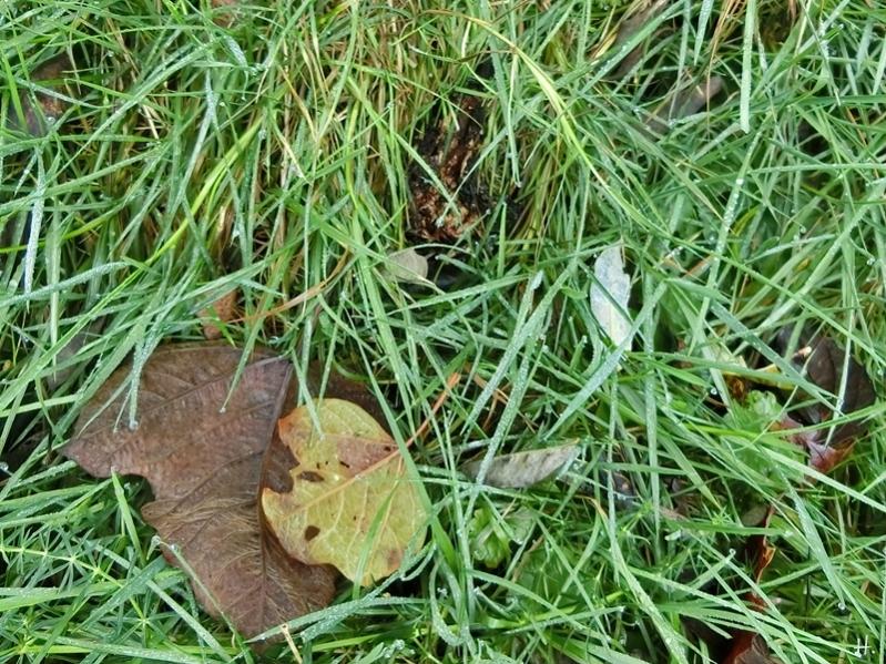 2020-11-26 LüchowSss Garten Gemeiner Riesenschirmling (Macrolepiota procera) bzw. Parasol No. 2