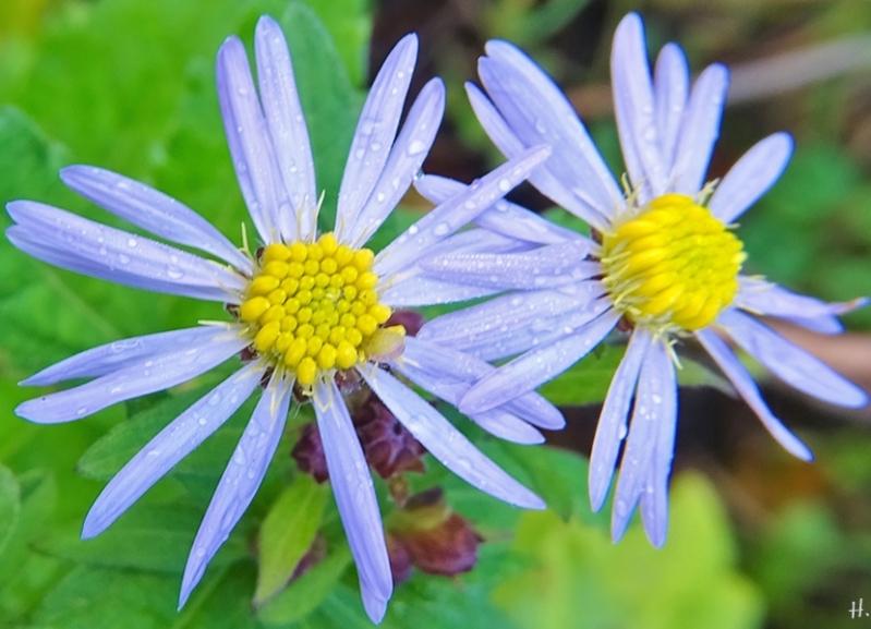 2020-11-29 LüchowSss Garten Asiatische Wildaster (Aster ageratoides) 'Asran' Blüten + Knospen