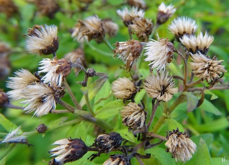 2020-11-29 LüchowSss Garten Asiatische Wildaster (Aster ageratoides) 'Asran' verblüht mit leider sterilen Samenständen