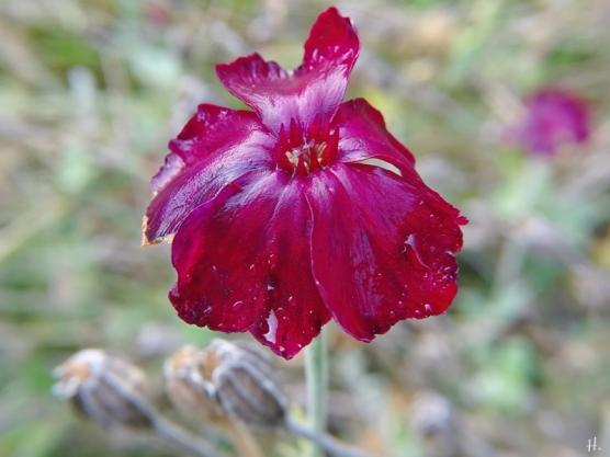 2020-11-29 LüchowSss Garten Kronen-Lichtnelken (Lychnis coronaria) (1)