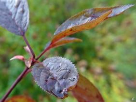 2020-11-29 LüchowSss Garten Blutpflaume (Prunus cerasifera) Wurzelschössling v. Wegrand