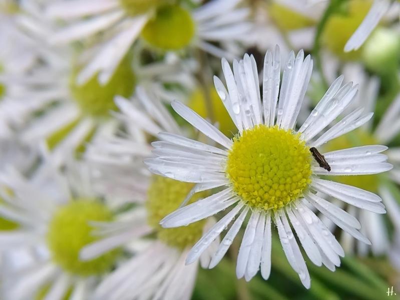2020-11-29 LüchowSss Garten Feinstrahl bzw. Weisses Berufkraut (Erigeron annuus)