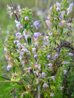 2020-11-29 LüchowSss Garten Feldthymian (Thymus serpyllum) (1)