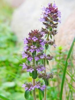 2020-11-29 LüchowSss Garten Feldthymian (Thymus serpyllum) (2)