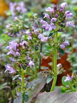 2020-11-29 LüchowSss Garten Feldthymian (Thymus serpyllum) (3)