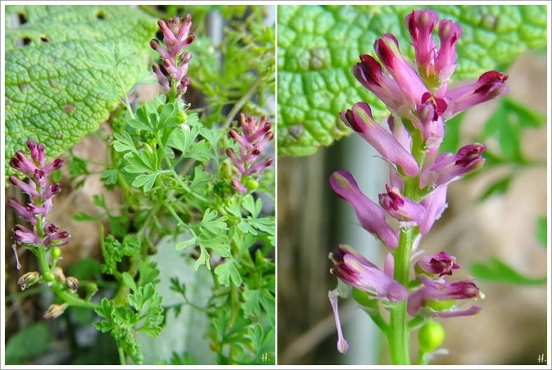 2020-11-29 LüchowSss Garten Gewöhnlicher Erdrauch (Fumaria officinalis) (1x2)