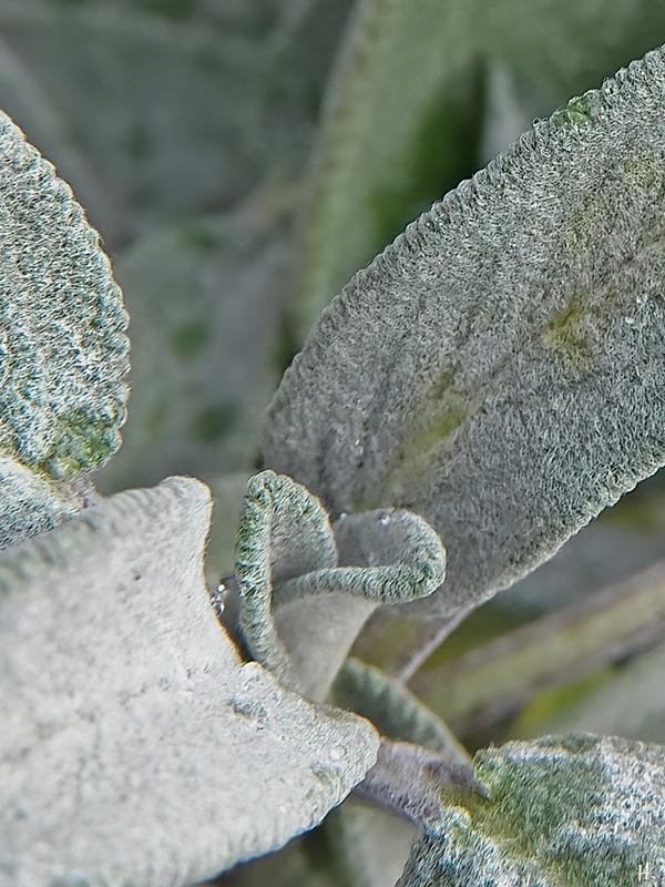 2020-11-29 LüchowSss Garten Gewöhnlicher Salbei (Salvia officinalis)