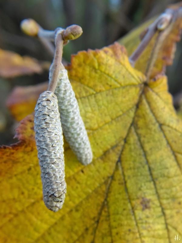 2020-11-29 LüchowSss Garten Hasel (Corylus avellana)