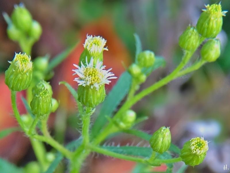 2020-11-29 LüchowSss Garten Kanadisches Berufkraut (Erigeron canadensis)