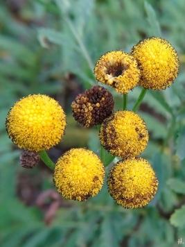 2020-11-29 LüchowSss Garten Rainfarn (Tanacetum vulgare) (2)