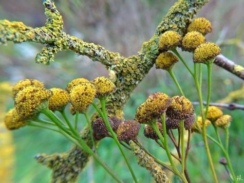 2020-11-29 LüchowSss Garten Rainfarn (Tanacetum vulgare) + Flechten auf Faulbaumzweigen