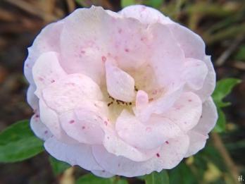 2020-11-29 LüchowSss Garten Rose 'Aspirin' (Tantau) (2)