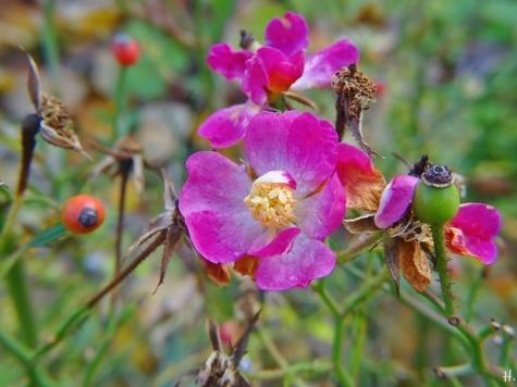 2020-11-29 LüchowSss Garten Bodendecker-Rose 'Lupo' (Kordes)