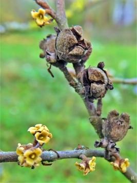 2020-11-29 LüchowSss Garten Virginische Zaubernuss (Hamamelis virginiana)