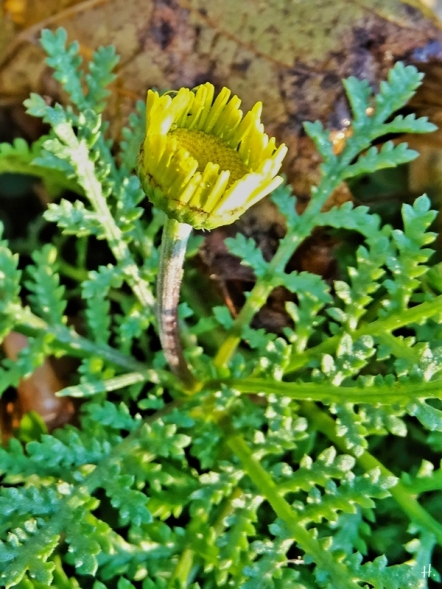 2020-12-02 LüchowSss Garten Färberkamille (Anthemis tinctoria) (2)