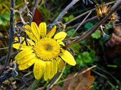 2020-12-02 LüchowSss Garten Färberkamille (Anthemis tinctoria) (3)