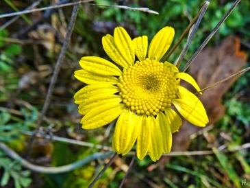 2020-12-02 LüchowSss Garten Färberkamille (Anthemis tinctoria) (4)