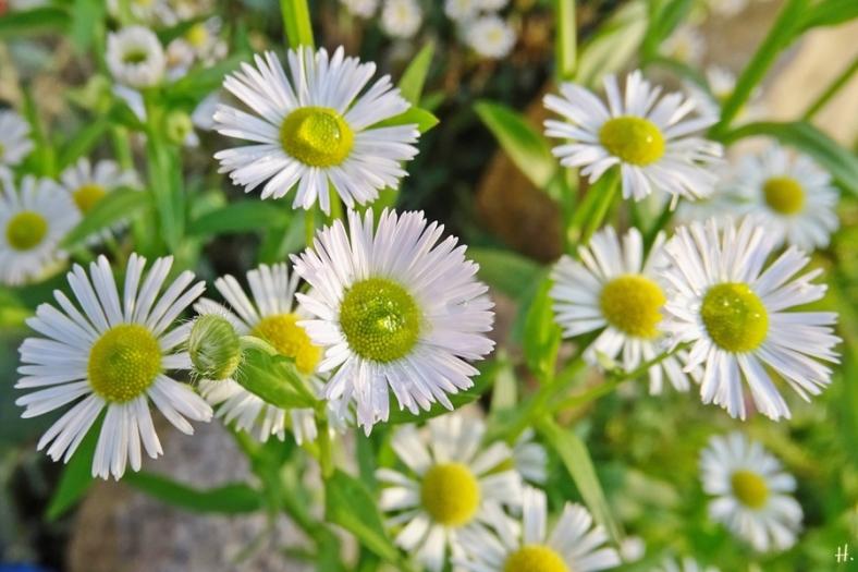 2020-12-02 LüchowSss Garten Feinstrahl bzw. Weisses Berufkraut (Erigeron annuus)