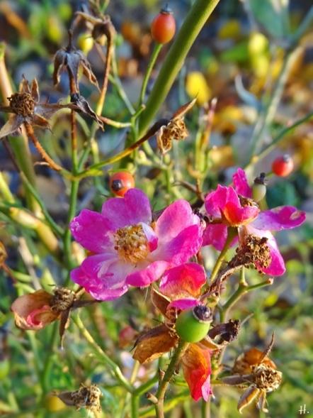 2020-12-02 LüchowSss Garten Bodendecker-Rose 'Lupo' (Kordes)