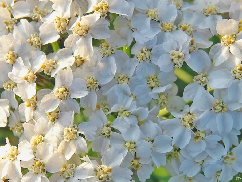2020-12-02 LüchowSss Garten Wiesen-Schafgarbe (Achillea millefolium)