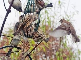 2020-12-04 LüchowSss Garten 1. Vogelfütterung dieser Saison Haussperlinge (Passer domesticus)
