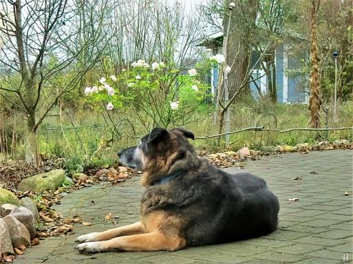 2020-12-07 LüchowSss Garten Bongo + die Rose 'Aspirin' (1)