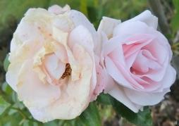 2020-12-07 LüchowSss Garten Tantau-Beetrose 'Aspirin' nach Frost (1)