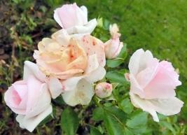 2020-12-07 LüchowSss Garten Tantau-Beetrose 'Aspirin' nach Frost (2)