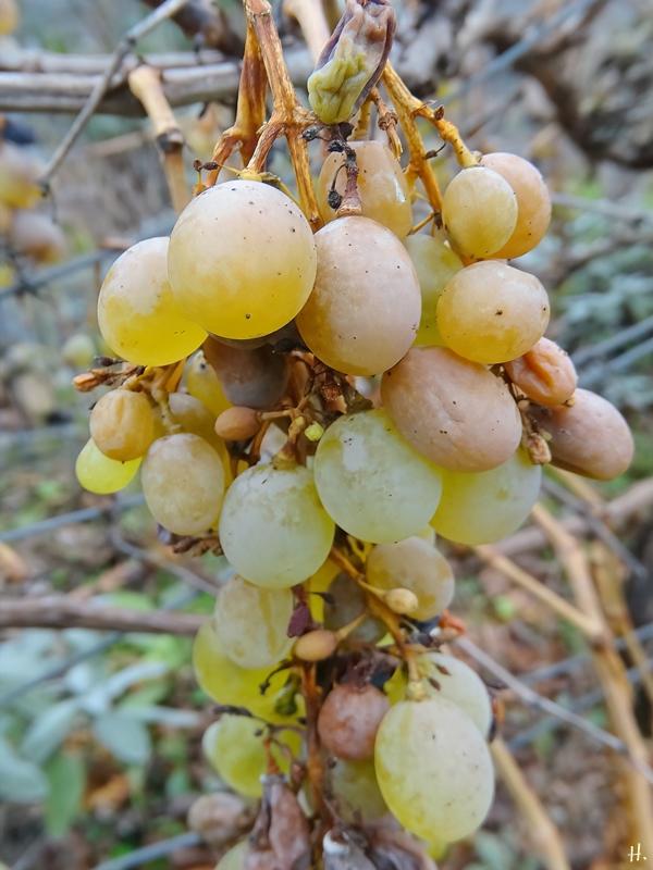 2020-12-08 LüchowSss Garten Weintrauben (Spanische Reben)
