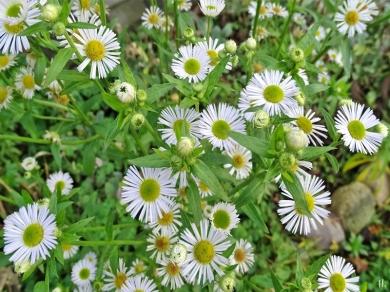 2020-12-15 LüchowSss Garten Feinstrahl bzw. Einjähriges Berufkraut (Erigeron annuus) (2)