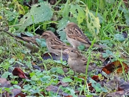 2020-12-15 LüchowSss Garten Haussperlinge (Passer domesticus) am Boden pickend