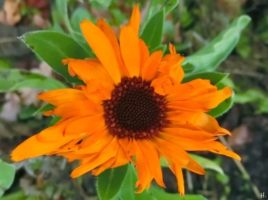 2020-12-15 LüchowSss Garten Ringelblume (Calendula officinalis)