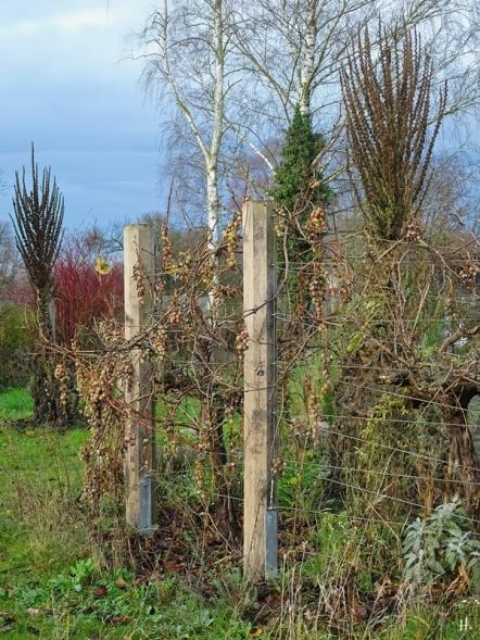 2020-12-15 LüchowSss Garten Weintrauben (span. Reben) + Kandelaber-Königskerzen (Verbascum olympicum)