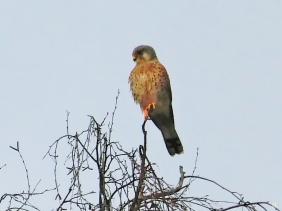 2020-12-15 LüchowSss Mittags-Spaziergang Turmfalke (Falco tinnunculus) männl.
