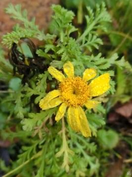 2020-12-16 LüchowSss Garten Färberkamille (Anthemis tinctoria)