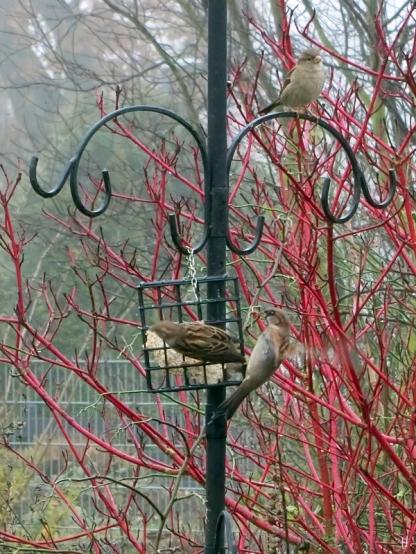 2020-12-16 LüchowSss Garten Haussperlinge (Passer domesticus) am Futterbblock vor Rotholz-Hartriegel (Cornus alba 'Sibiriaca')