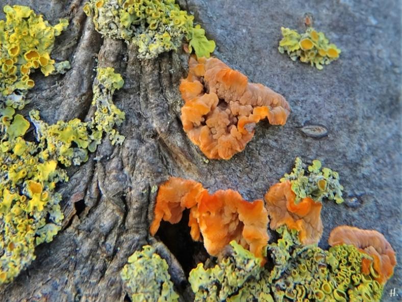2020-12-18 bei LüchowSss Spaziergang Eberesche m. Orangerotem Kammpilz (Phlebia radiata) + Gelbflechten