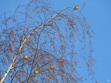 2020-12-18 bei LüchowSss Spaziergang Goldammern (Emberiza citrinella) + Buchfink (Fringilla coelebs) in Birkenzweigen (1)