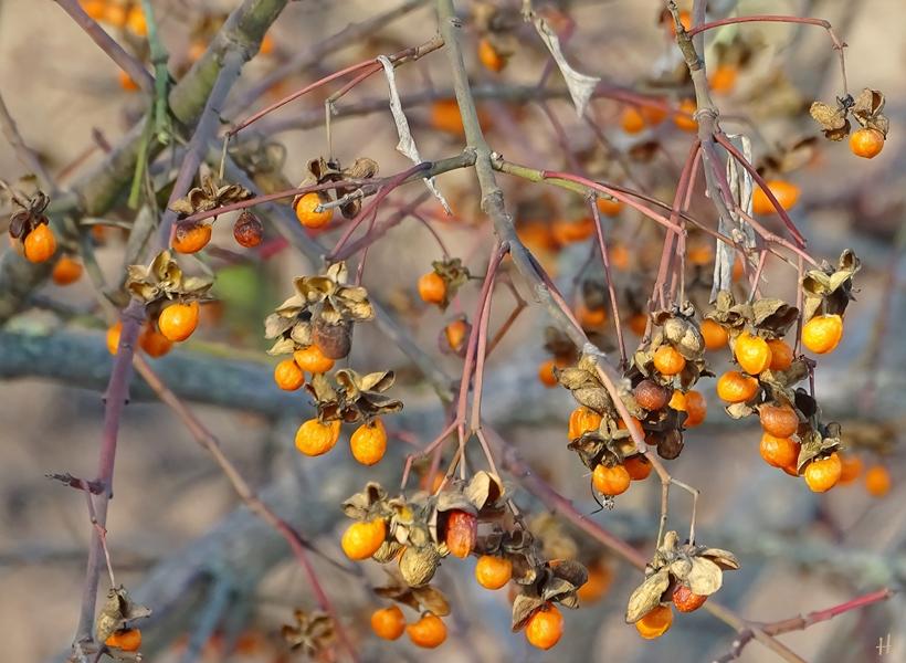 2020-12-18 bei LüchowSss Spaziergang Spindelstrauch bzw. Pfaffenhütchen (Euonymus europaeus) (1)