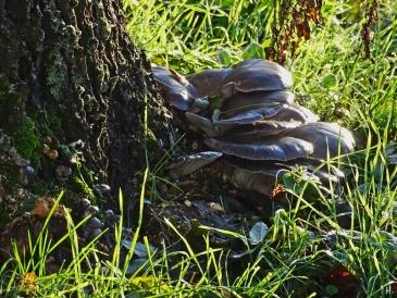 2020-12-18 LüchowSss Garten Austern-Seitlinge (Pleurotus ostreatus) an der Eiche (1)