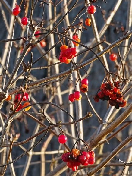 2020-12-18 LüchowSss Garten Gewöhnlicher Schneeball (Viburnum opulus) Beeren (1)