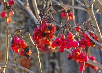 2020-12-18 LüchowSss Garten Gewöhnlicher Schneeball (Viburnum opulus) Beeren