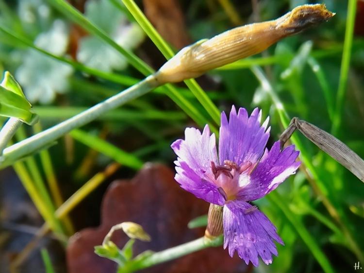 2020-12-18 LüchowSss Garten Heidenelke (Dianthus deltoides)