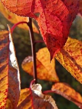 2020-12-18 LüchowSss Garten rotblättrige Kirschpflaume (Prunus cerasifera) Blutpflaume, noch mit Laub (1)