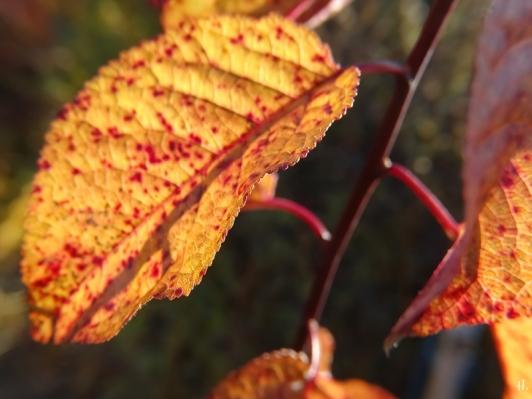2020-12-18 LüchowSss Garten rotblättrige Kirschpflaume (Prunus cerasifera) Blutpflaume, noch mit Laub (2)